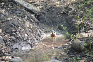 Birds bathe themselves in the newly released creek.